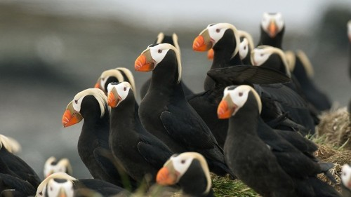 Hundreds of Puffins Washed Up Dead on an Alaskan Beach