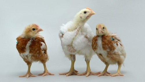 The Chickens That Are Surrogates for Rare Breeds