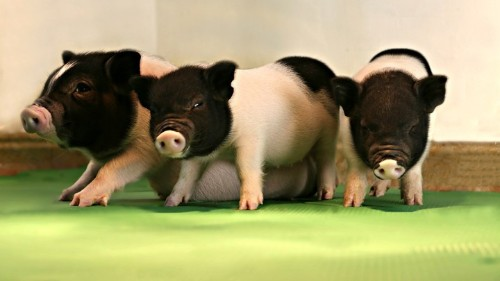 Genetically Engineering Pigs to Grow Organs for People