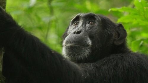The Death of a Chimpanzee