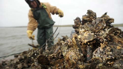 How Oysters Can Protect Houses From Hurricanes