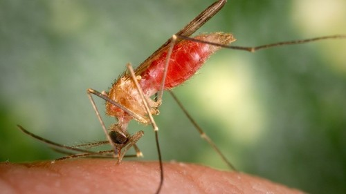 The Parasite That Lures Mosquitoes to Humans