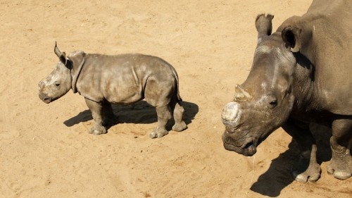 Making Rhino Horns Out of Stem Cells