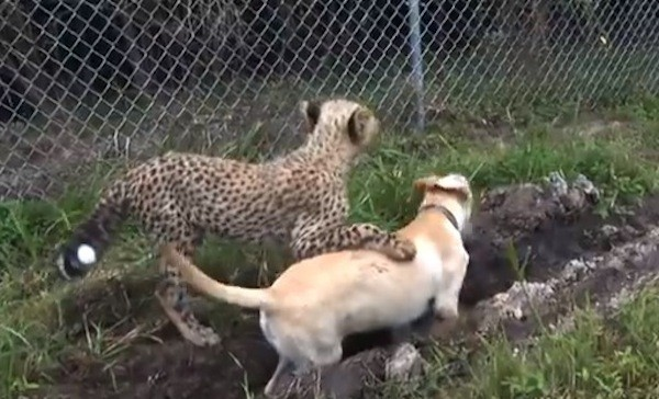 Cheetah Cub and Rescued Lab Puppy Develop 'Brother-Like' Bond