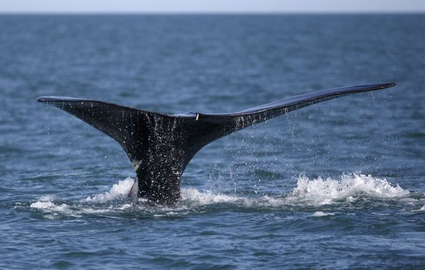 Conservation groups urge U.S. to pressure Canada to protect North Atlantic right whales