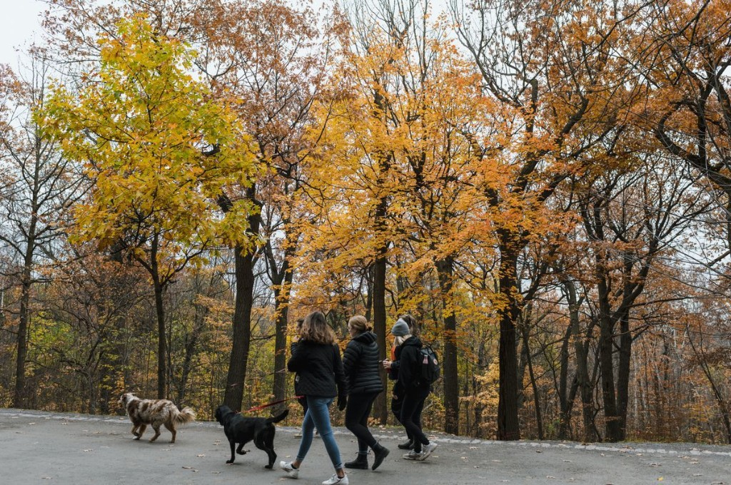 How the foreign Norway maple tree is changing Canada's fall palette