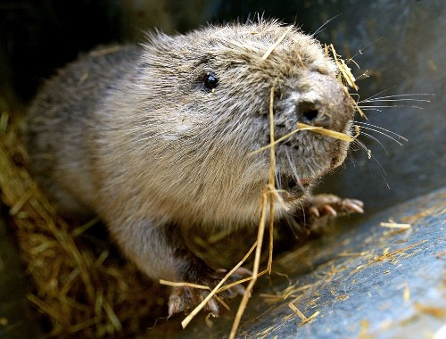 British study makes case for unleashing the beaver
