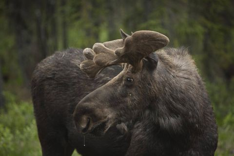 MyMoose app tracks, shares British Columbia's wildlife data in real time