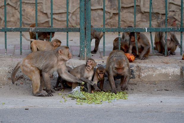 Monkeys attack medical official in India, run off with blood samples of four COVID-19 patients