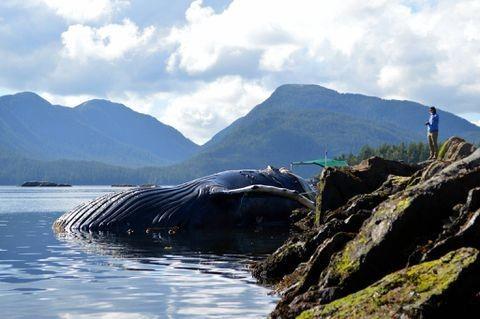 Fourth humpback whale found dead along B.C. coast in a week