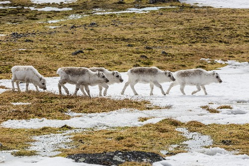 How Reindeer Could Help Slow Climate Change in the Arctic