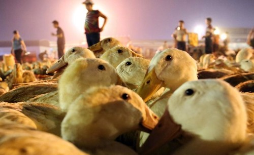 Army of 100,000 Chinese Ducks Ready to Fight Locust Plague