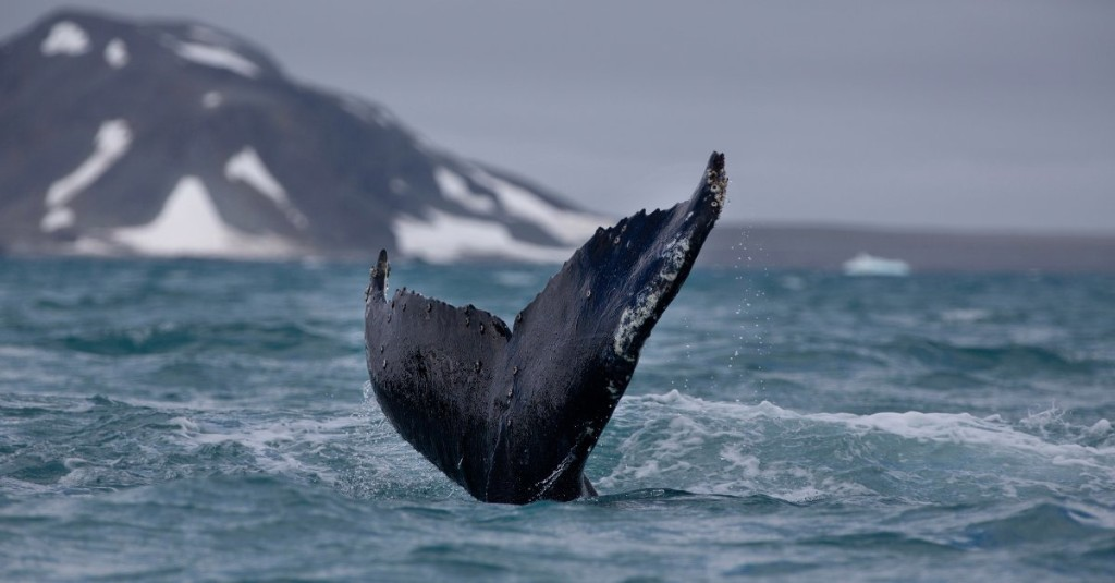 Humpback Whales Have Made a Remarkable Recovery, Giving Us Hope for the Planet