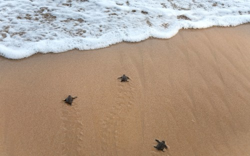 South Carolina sees record-setting half a million sea turtles hatched this year