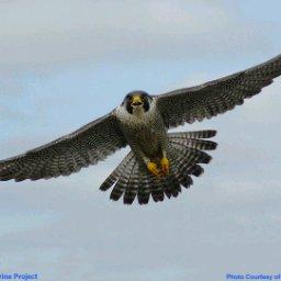Falcon - cover