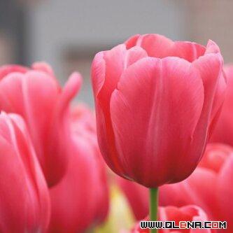 وردة - cover