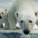Avatar - Oso Polar