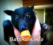 Avatar - Bats Megabats Microbats Flyingfox Fruit bat