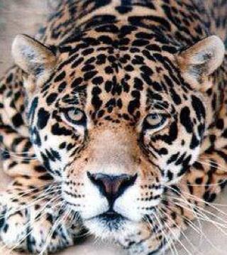 Avatar - Cheetah_JP