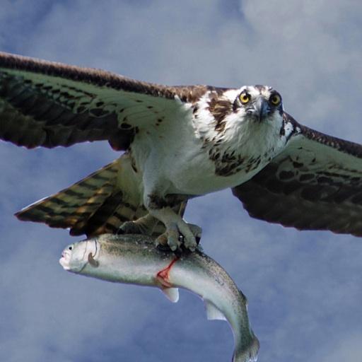 Osprey - cover