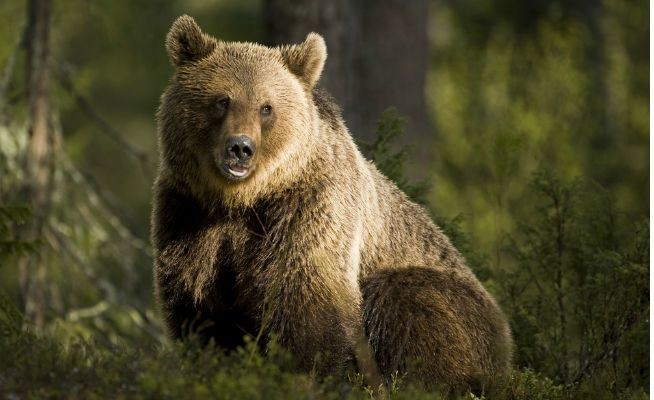 Mama Bears Are Using Humans To Protect Their Cubs