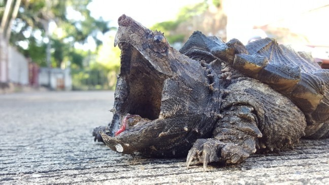 Snapping Turtles Will Now Be Protected From Hunters In Ontario