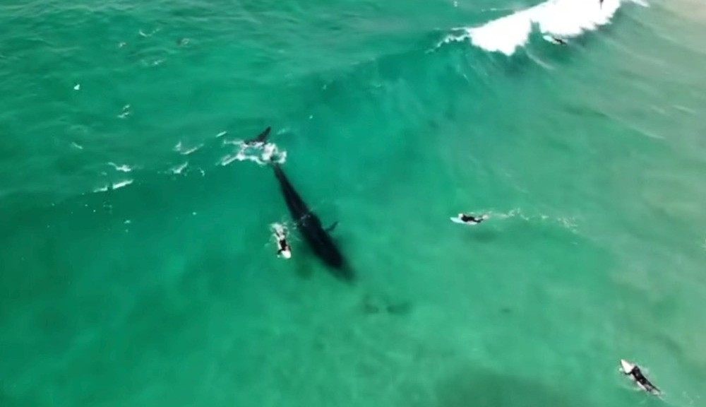 Surfing whale rides into baitball in 'unbelievable' sight