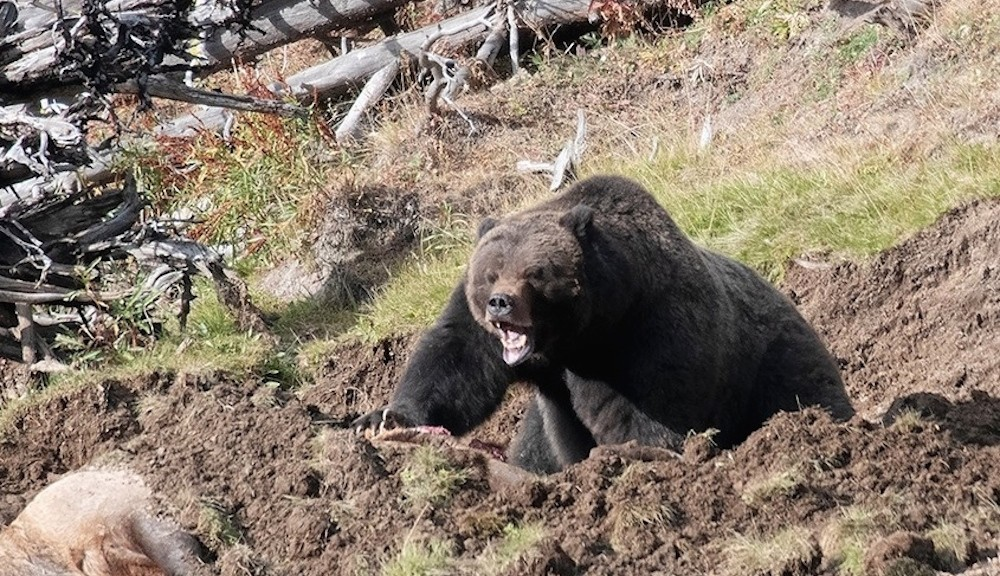 Yellowstone bear ferociously guards kill as tourists watch
