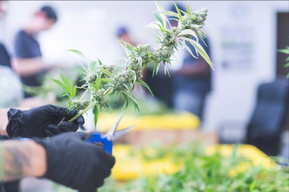 Game on: The race for CBD market share