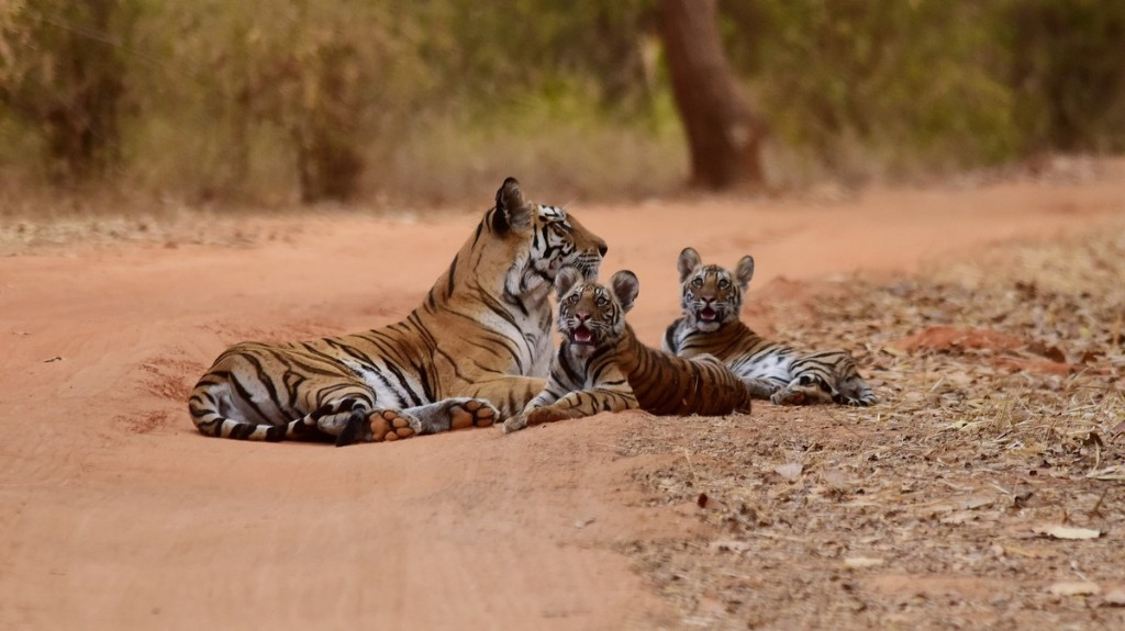 India's Tiger Population Count Doubled in 12 Years but Is This The Full Story?