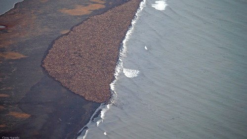 Tens of Thousands of Stranded Walruses Are Once Again Gathering in Alaska