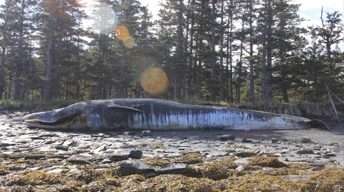 What's Up with All the Dead Whales, Alaska?