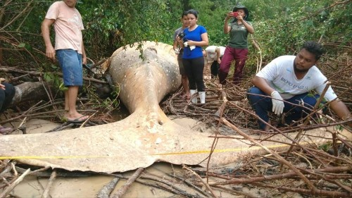 There's a Dead Humpback Whale in the Amazon Jungle and Nobody Knows Why