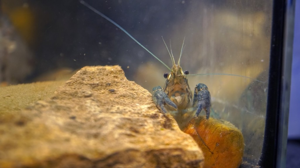 Self-Cloning Crayfish Have Taken Over a Cemetery in Belgium
