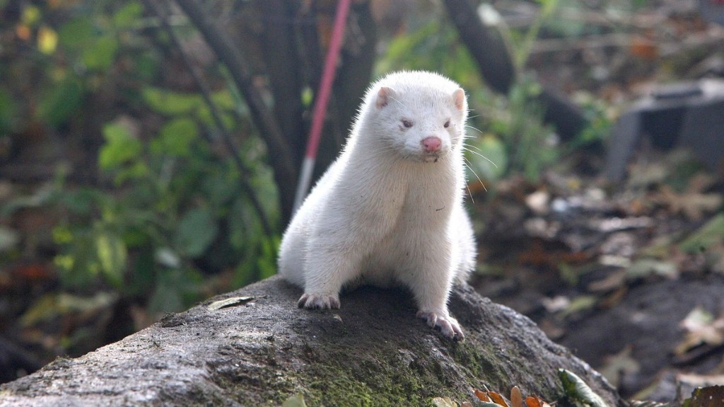 Hundreds of People Infected With Mutated COVID Strains From Minks