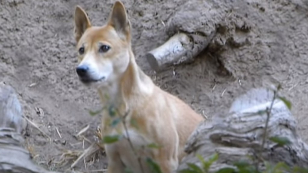 Scientists Rediscover Rare 'Singing' Dogs Thought to Have Gone Extinct