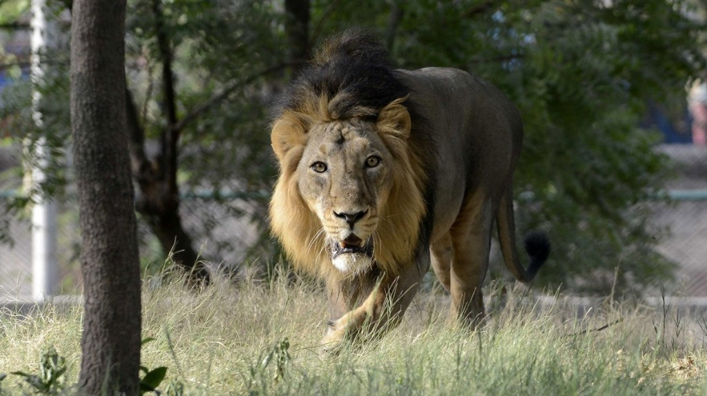 Last Remaining Asiatic Lions At Risk in India's Gujarat State