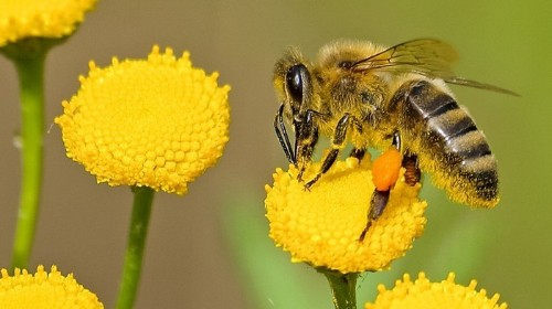 Bees in Australia are Getting Drunk on Fermented Nectar and Being Refused Re-Entry to the Hive