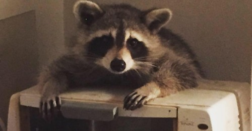 This Raccoon Stared a Toronto Woman Down While Eating All of Her Bread