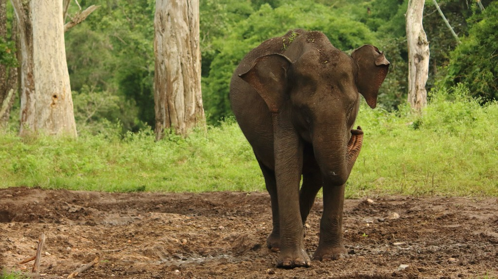 Upset About the Elephant Who Died From Eating Firecrackers? It Probably Wasn't the First