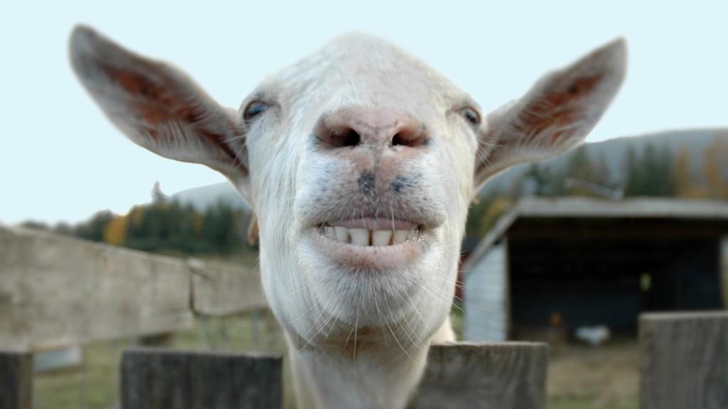 Anime sua próxima reunião virtual da firma com uma cabra de verdade