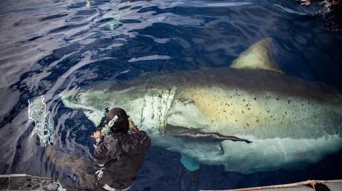 Famously Huge Great White Shark, 'Deep Blue,' Feasts on Dead Sperm Whale in Hawaii
