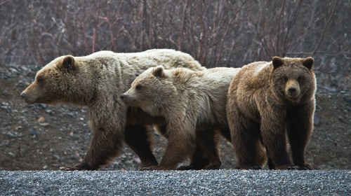 Republicans Vote to Allow Killing of Wolves and Bears on Refuges in Alaska