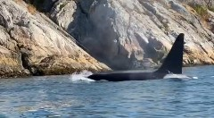 Discover orca whale