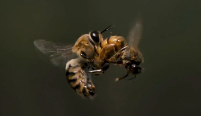 Watch this: Slow-motion footage of a queen bee mating with a drone in mid-air