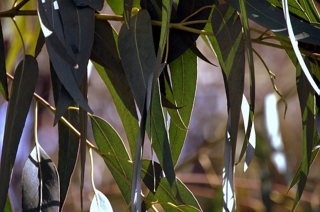 Money doesn't grow on trees, but there's gold in eucalyptus leaves