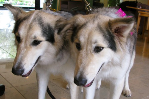 A scientific pariah pursues redemption, one cloned dog at a time