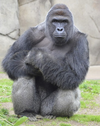 Harambe the gorilla reveals Americans' hypocrisy about animal suffering