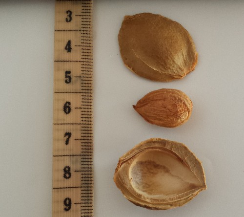 Apricot kernels don't cure cancer, and they might poison you