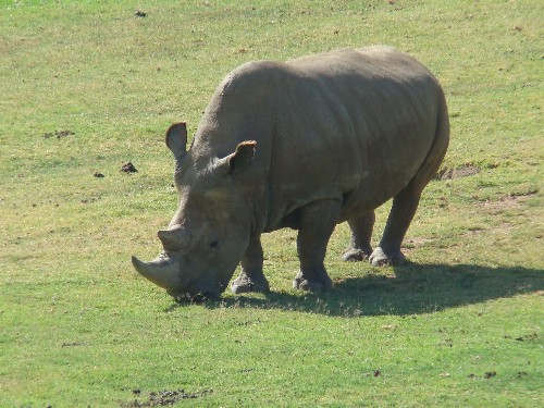 There are just five northern white rhinos left in the world
